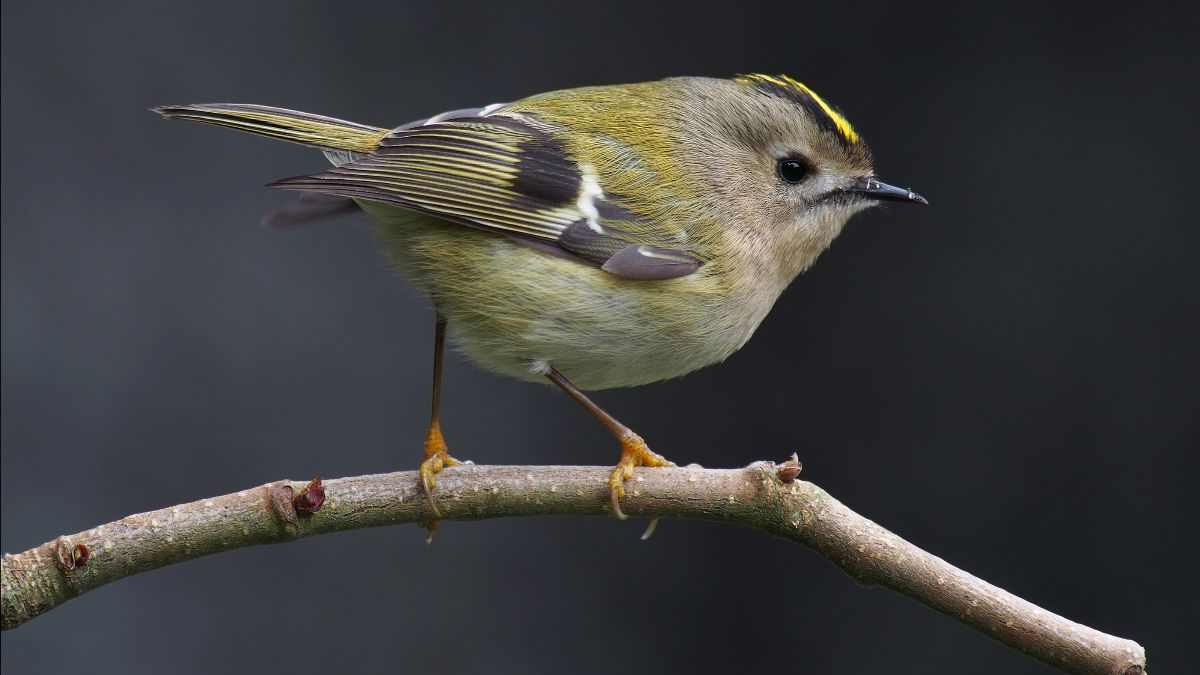 goldcrest sitting on twig