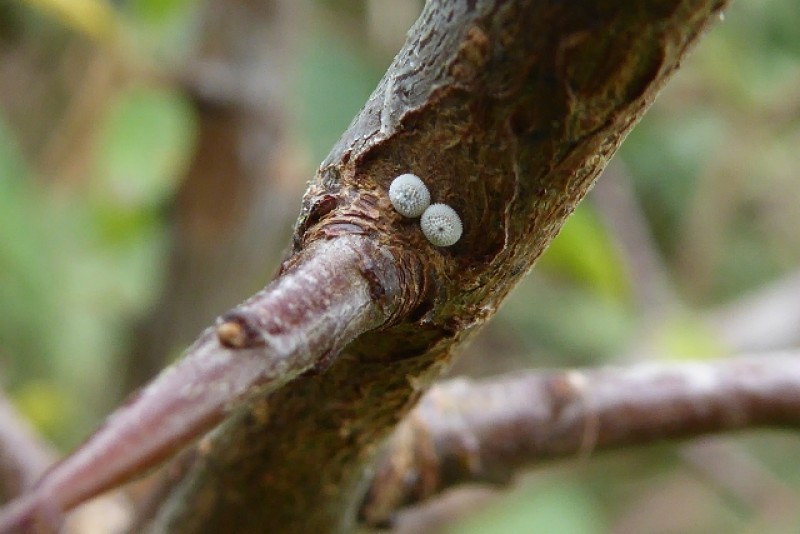 butterfly eggs on blackthorn