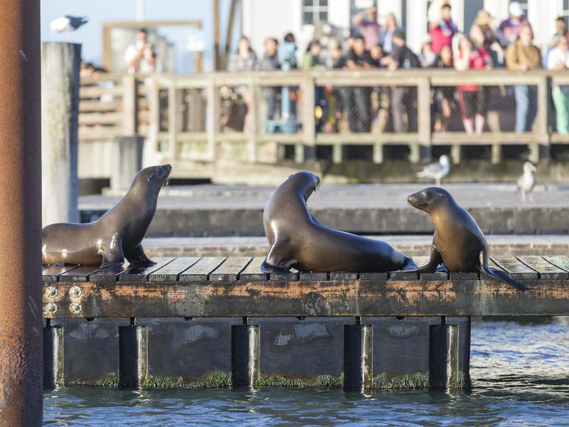 Noisy, adorable sea lions are the stars of the show at Pier 39.