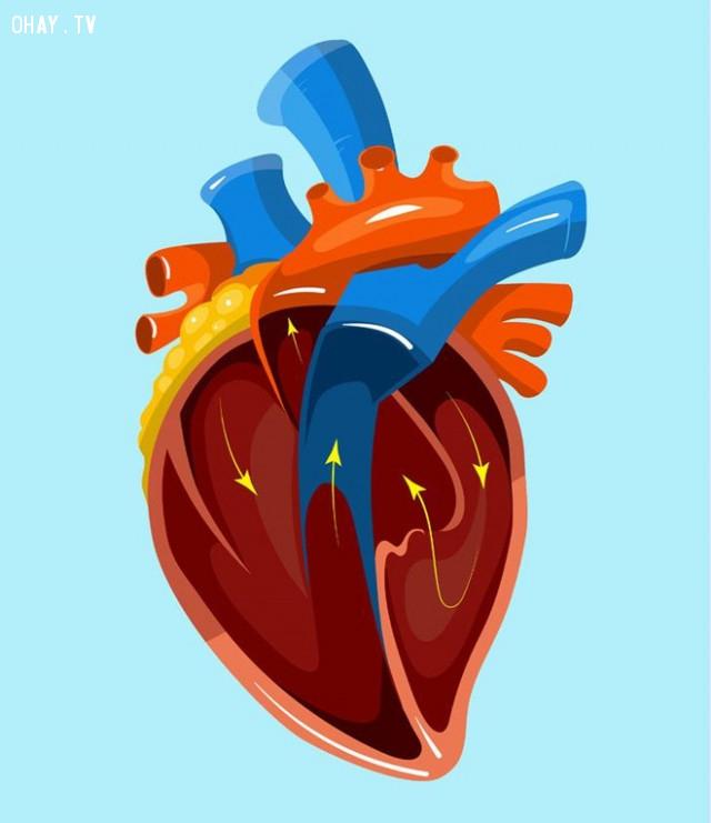 2. Trái tim:,cơ thể con người,sự thật thú vị