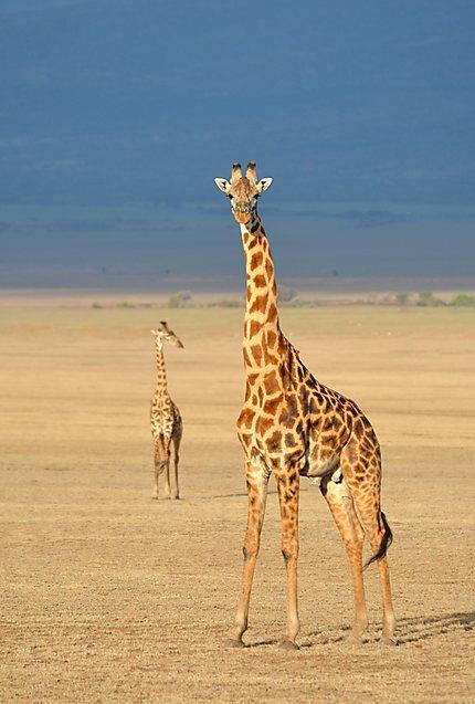 Les girafes : belles et élégantes
