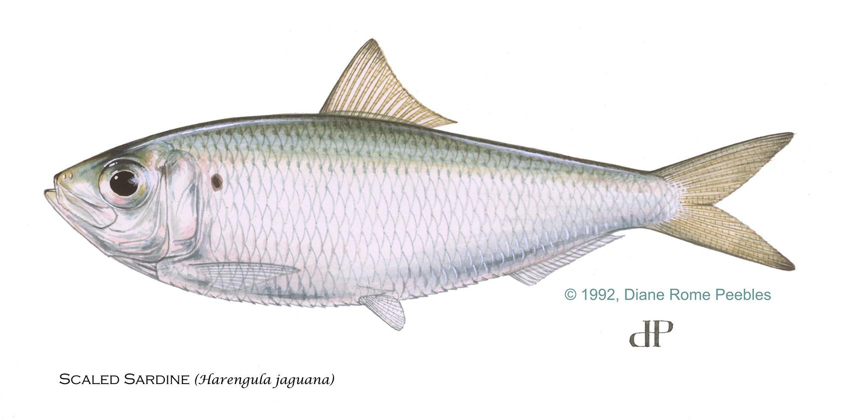 scaled sardines