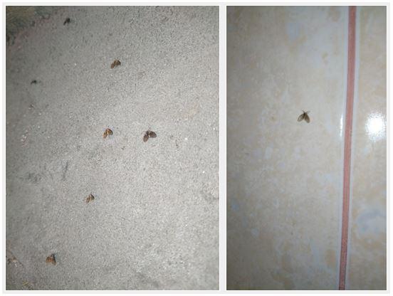 Depuis le début du projet sur les mouches au Centre Lugar , la Géorgie est infestée de mouches des sables. Les résidents locaux se plaignent d'avoir été piqués par ces mouches nouvellement apparues alors qu'ils étaient nues dans leur salle de bain (une mouche dans une salle de bain sur la droite).