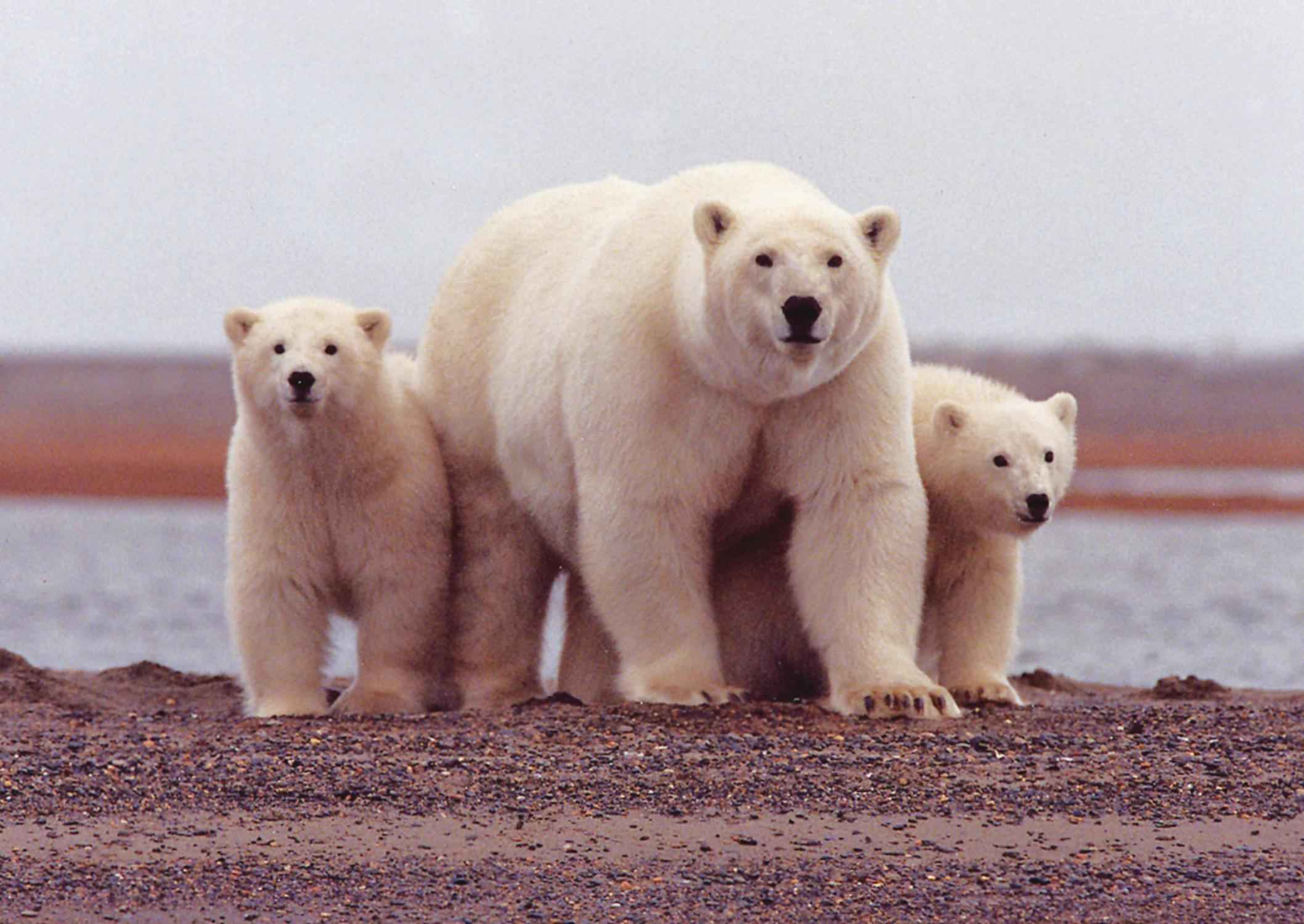 Polar Bear & Cubs