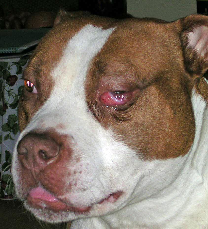 Dog with Swollen Eyes