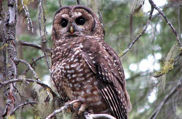 Northern Spotted Owl by Chris Warren_news.png