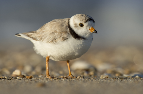 Piping Plover by Ray Hennessy_news.png