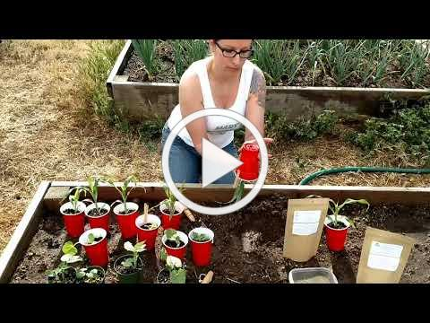 Day 8 Transplanting Seedlings