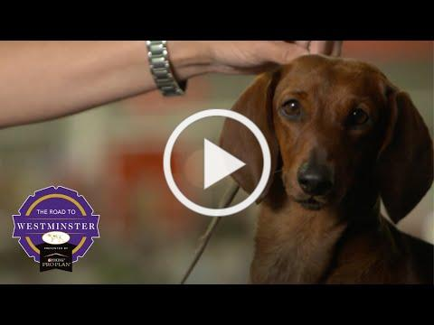 Best of Breed Minute: The Dachshund