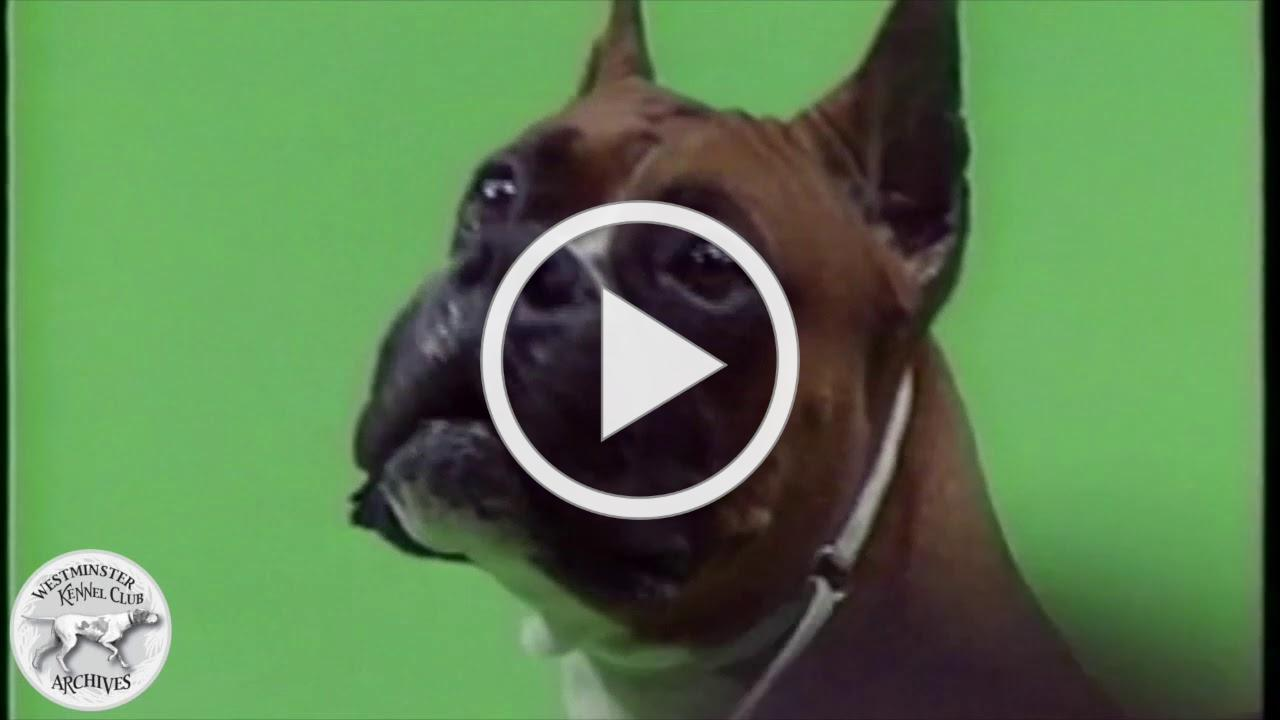 Biff, a Boxer, and the winner of the 1994 Working Group at the WKC Dog Show