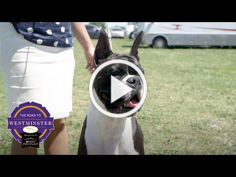 Best of Breed Minute: The Boxer