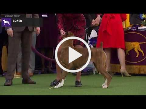 Boxers | Breed Judging 2020