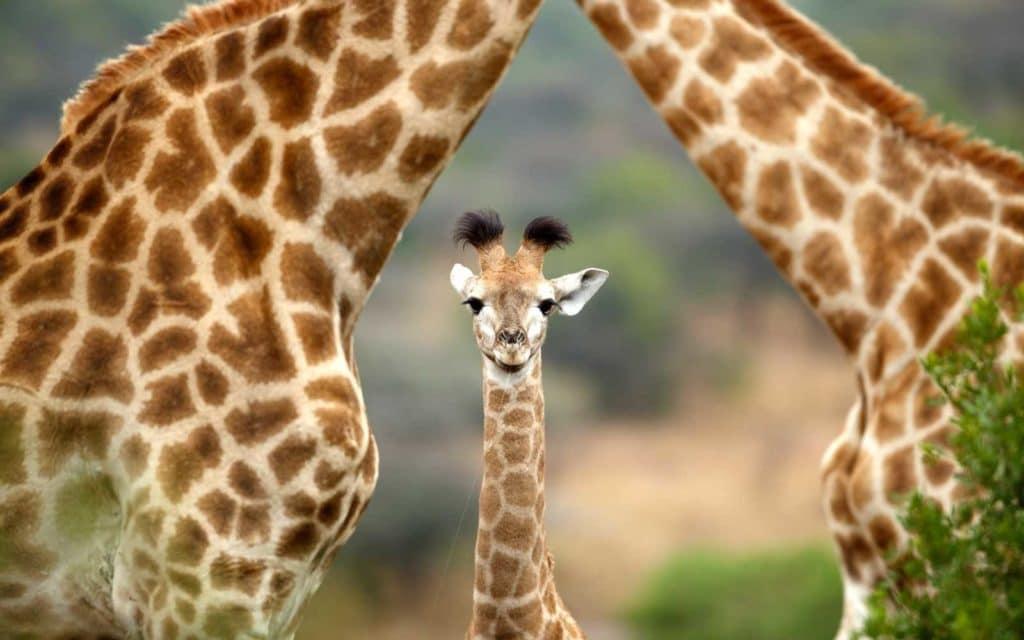 bebes-animaux-giraffe-afrique-du-sud-decouverte