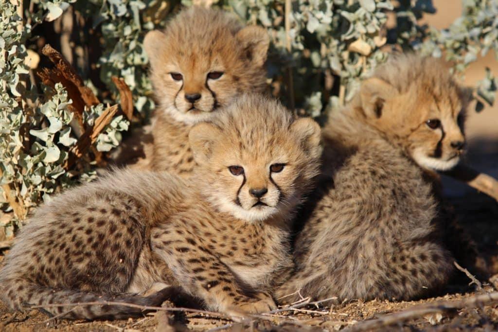 bebes-sauvages-guepard-afrique-du-sud-decouverte
