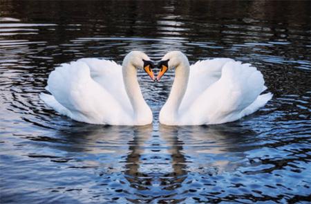 swans2-450px-opt.jpg