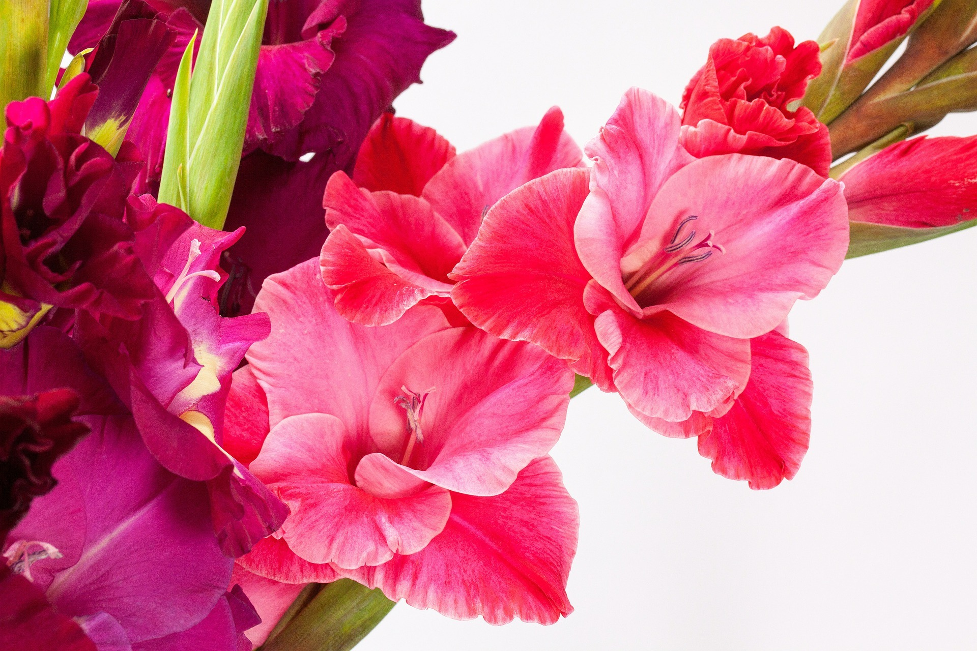 August Birth Flowers: Gladiolus and Poppy   Meanings   The Old ...