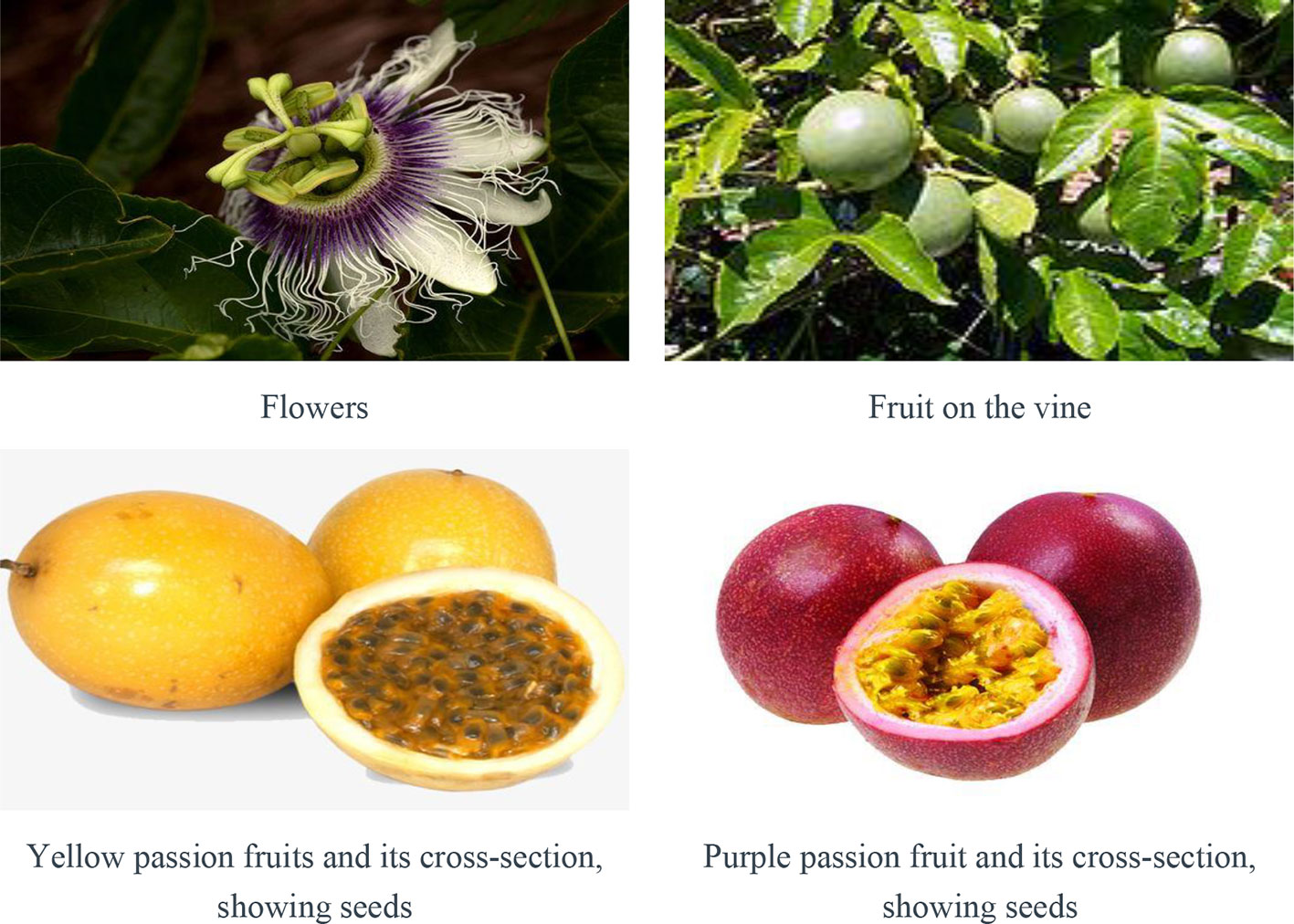 Frontiers | Passiflora edulis: An Insight Into Current Researches on  Phytochemistry and Pharmacology | Pharmacology