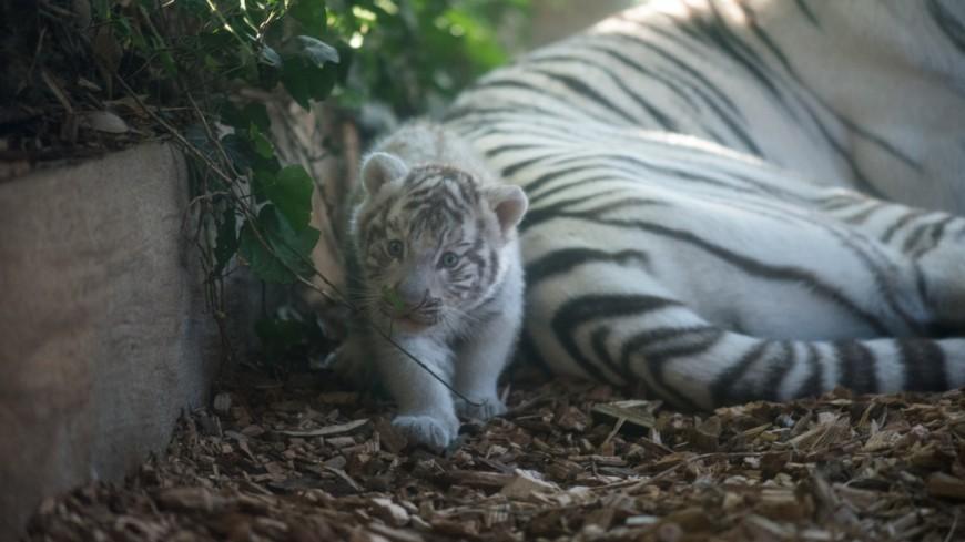 Près de Lyon : un bébé tigre meurt accidentellement à Touroparc