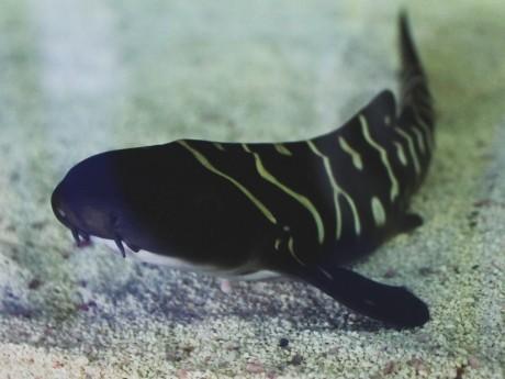 Le bébé requin lyonnais - Aquarium de Lyon