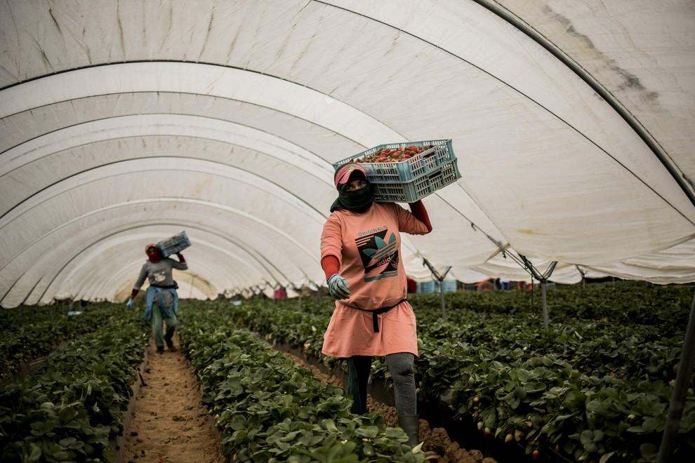 Una trabajadora estacional marroquí recolecta fresas en una explotación en Lepe, en Huelva. Tras el cierre de fronteras, tan solo han llegado unas 7.000 trabajadoras de las más de 14.000 que suelen acudir cada año a la temporada de frutos rojos. Aunque es