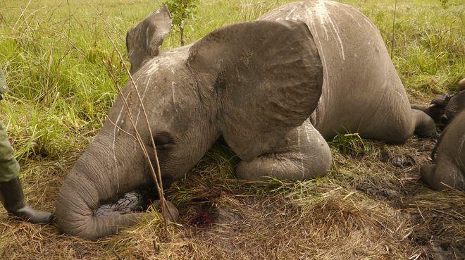 Gewilderter Elefant
