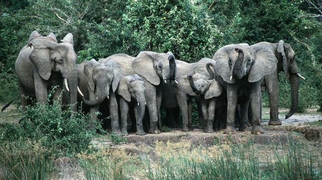 Elefanten-Herde in Murchison-Falls-Nationalpark, Uganda