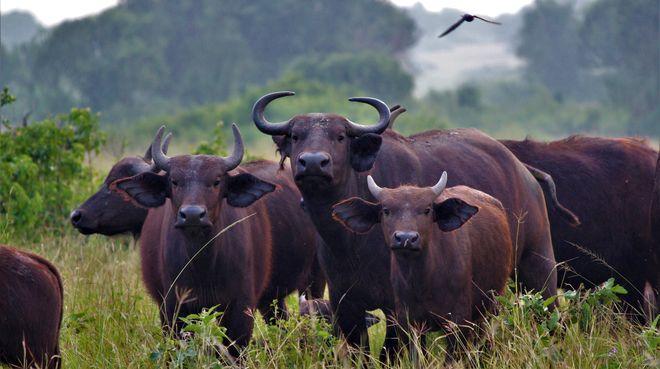 Kaffernbüffeln in Uganda in Uganda