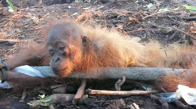 Orang-Utan Baby auf abgeholzter Palmölplantage