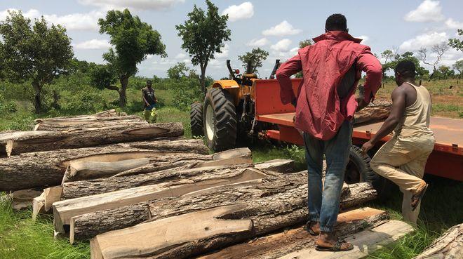 Gefällte Palisander-Stämme in Ghana