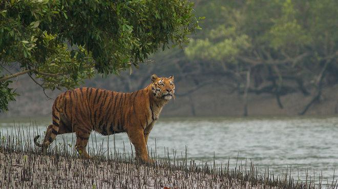 Tiger in Mangroven der Sundabarns